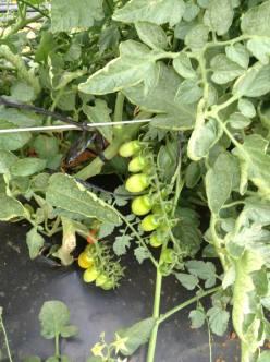 T. Cherry pera